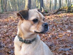 My dog Millicent. She is a pug mix. Half pug, half Mini Pinscher. A Muggin. A Carlin Pinscher.