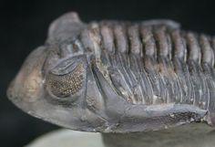 Hollardops mesocristata from Mount Issoumour, Alnif , Morocco Evolution Science, Petrified Wood, Prehistory, Ammonite, Rocks And Minerals, Dinosaurs, Devon, Morocco, Bones