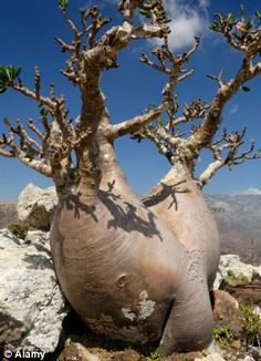 Socotra Island, which has been described as the Galapagos of the Indian Ocean as well as 'the most alien place on earth', has around 40,000 inhabitants  but is home to some of the world's rarest plants. The Socotra desert rose or bottle tree comes in many bizarre shapes and sizes
