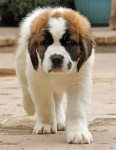 Cute little Saint Bernard. (Love this description! Ain't nothing little 'bout a Saint Bernard -- even a puppy --including how much I love them!! -- LOL)