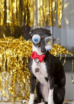 ~ Silly Googly eyes on an Italian Greyhound~