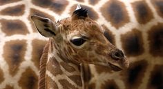 Vincek, a 6 day old Rothschild giraffe, is presented to the media at Prague Zoo in Prague, Czech Republic, on February (AP Photo/Petr David Josek) Beautiful Creatures, Animals Beautiful, Cute Animals, Prague Zoo, Prague Czech, Giraffe Pictures, Animal Crafts For Kids, Animal Photography, Animal Kingdom