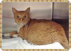 URGENT! High Kill! Domestic Shorthair Cat for adoption in Marietta, Georgia - DIAMOND is a 10yr. old Senior