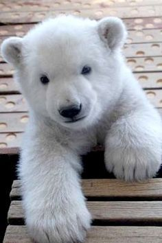 Those are big paws #polarbears Visit our page here: http://what-do-animals-eat.com/polar-bears/