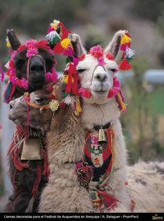 Llamas decoradas. Peru !!!