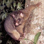 COPPERY BRUSHTAIL....a type of marsupial possum found within the rainforests of the Atherton Tablelands area of Queensland, in northeastern Australia....live in the tree canopy....measures 15.75 - 19.25 inches long