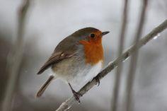 Robin Lake District, Robin, Bird, Photography, Animals, Photograph, Animales, Animaux, Birds