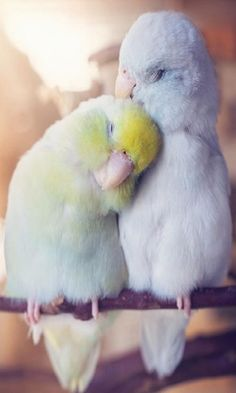 Woman Documents The Love Between Her Parrotlet Birds And It's Enough To Melt Even The Coldest Heart #parrotlet #bird #birds