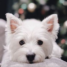 West Highland Terrier, Westie Puppies, Dogs And Puppies, Doggies, Animals Beautiful, Cute Animals, Cute Baby Dogs, Raining Cats And Dogs, Snow Dogs