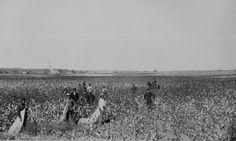 """Oklahoma Cotton Field."" Overseer and Negro cottonpickers, ca. 1897--98."