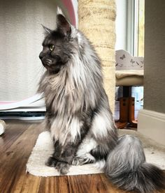 Thor black smoke Maine coon cat