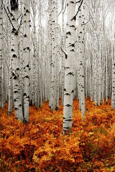 Freenom World Fall in Aspen Forest. - - Freenom World Fall in Aspen Forest. Bani Freenom World Fall in Aspen Forest. Fall Pictures, Nature Pictures, Beautiful Pictures, Forest Pictures, Beautiful Nature Photos, Pictures Images, Photography Gallery, Art Photography, Forest Photography