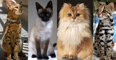 20 of the world s most expensive cat breeds costing up to - 28 images - 20 of the most expensive cat breeds in the world page 20 of the world s most expensive cats page 12 news, most expensive cat images, 20 of the world s most expensive cats page 3 new Siamese Cats, Cats And Kittens, Cats Bus, Elf Cat, Popular Cat Breeds, American Curl, Oriental Cat, Types Of Cats, Norwegian Forest Cat