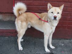 URGENT - Brooklyn Center    IKEA - A0992034  *** SAFER: NEW HOPE ONLY ***   MALE, TAN, SIBERIAN HUSKY MIX, 1 yr  STRAY - STRAY WAIT, NO HOLD Reason STRAY   Intake condition GERIATRIC Intake Date 02/20/2014, From NY 11418, DueOut Date 02/23/2014 ORIGINAL THREAD: https://www.facebook.com/photo.php?fbid=760993043913577&set=a.617941078218775.1073741869.152876678058553&type=3&theater