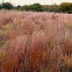 Prairie Grasses - Little Blue-stem