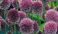 Buy premium allium bulbs from Unwins Online, leading UK supplier of ornamental flower seeds, alliums flower bulbs and garden supplies. Allium Sphaerocephalon, Veg Patch, Border Plants, Green Tips, Bulb Flowers, Flower Seeds, Garden Supplies, Plant Care, Bright Green