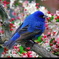 indigo bunting - we have them here in the midwest.  I saw one on my finch feeder.