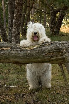 Old english sheepdog.  They always seem to look like someone dressed up as a dog :D