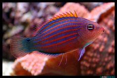 Pseudocheilinus hexataenia Underwater Creatures, Ocean Creatures, Underwater World, Saltwater Aquarium, Aquarium Fish, Sea Fish, Art Of Living, Ocean Life, Tropical Fish
