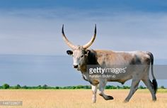 View top-quality stock photos of Hungarian Grey Cattle. Find premium, high-resolution stock photography at Getty Images. Alien Concept, Trophy Hunting, Horse Training, Folk Music, Eastern Europe, Farm Life, Cattle, Farm Animals, National Parks