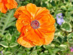poppy  photo by Joy Fussell