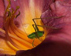 Cautious Approach by jade2k, via Flickr - flower, insect, nature, grasshopper, animal, photography, photo