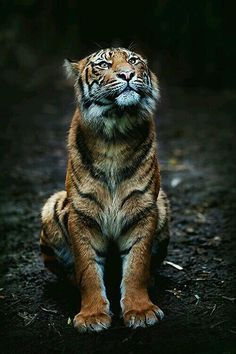"A Tiger: ""Just sat here on my posterior, enjoying the overhead view..."""