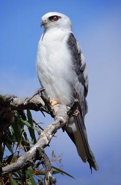 "Birds of Prey - Black Shouldered Kite,(Elanus axillaris) [""Repinned by Keva xo""]"