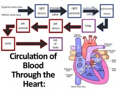 This chart shows how blood moves through the circulatory system