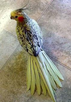 Cockatiels have beautiful color