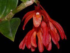 Dendrobium trichostomum