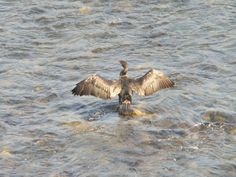 Cormorant(at the Uji river,Kyoto,JPN) In Summer 2010