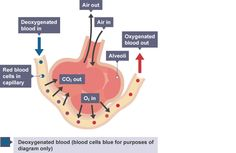 Dexoygenated red blood cells enter the capillary. is absorbed into the alveoli and passes from the alveoli into the blood cells. When the blood cells leave they have been oxygenated. Biology Syllabus, Igcse Biology, Biology Revision, Science Revision, Human Anatomy And Physiology, Cell Wall, Red Blood Cells, Cross Stitch Heart, Respiratory System