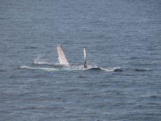 Sea of Cortez whales