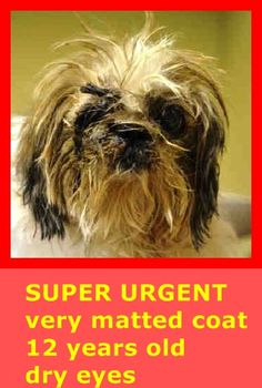 SUPER URGENT 01/17/15 Manhattan Center DALE - A1025713 FEMALE, TAN / WHITE, SHIH TZU MIX, 12 yrs STRAY - EVALUATE, NO HOLD Reason STRAY Intake condition INJ MINOR Intake Date 01/17/2015, https://www.facebook.com/Urgentdeathrowdogs/photos/pb.152876678058553.-2207520000.1421607586./945879572091589/?type=3&theater