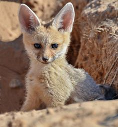 ~~Inquisitive!! ~ Cape Fox (vulpes chama) by Macky~~