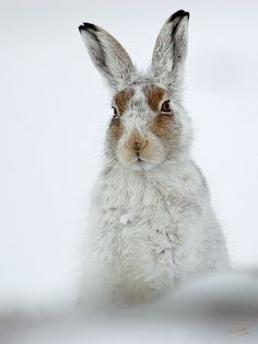 Forest Hare - Lepus timidus or corresponding species from North America if this is not a European photo - siis metsäjänis jostain päin maailmaa -