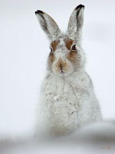 Forest Hare - Lepus timidus or corresponding species from North America if this is not a European photo - siis metsäjänis jostain päin maailmaa -