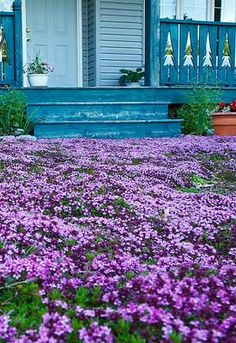 Lawn Alternatives - Hardy flowers you can walk and play on, awesome!
