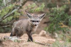 A Bat-eared Fox seen on game drive at Bucklands Private Game Reserve, in the Eastern Cape of South Africa. Nocturnal Mammals, Bat Eared Fox, Private Games, Game Reserve, South Africa, Cape, Wildlife, Creatures, Photography