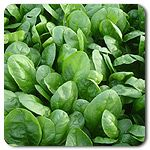 Organic Corvair F1 Hybrid Spinach