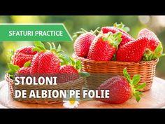 Capsunii Albion, un soi cu adevarat special - plantarea pe folie Strawberry, Youtube, Madness, Plant, Strawberry Fruit, Strawberries, Youtubers, Youtube Movies, Strawberry Plant