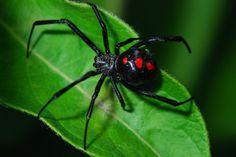 Las 5 arañas venenosas de Chile con foto – Especial