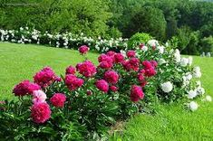 Pictures of flowers: Peony Growing Peonies, Picture Blog, Flower Pictures, Houseplants, Garden Design, Beautiful Pictures, Backyard, Gardens, Peony