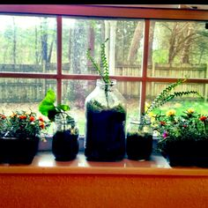 Started my mini terrarium in my kitchen window 2 are in mason jars and the big one is an antique milk jug I found in the woods. Going thrifting tomorrow to find bigger glass containers, I'm In LOVE with making terrariums.