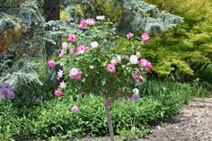 Pink Flowers 🌸 - So I Was Thinking Pink Roses, Pink Flowers, Marry Me, Rose Buds, Paths, How To Find Out, Photo Galleries, Gallery, World