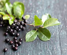 Pensasaidan kätköissä on mehevä terveyspommi, marja-aronia. Vitamiini- ja flavonoidipitoisia marjoja voi kuivata, pakastaa, hillota ja mehustaa.