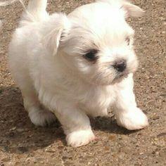 Maltese Chihuahua mix