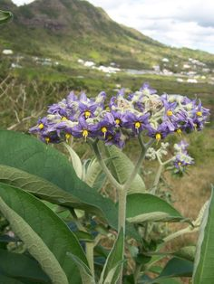 Solanum mauritianum - Earleaf Nightshade