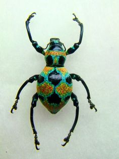 """Polka Dotted Clown Weevil (pachyrrhynchus orbifer) ~ Miks' Pics """"Arachnids and Insects l"""" board @ http://www.pinterest.com/msmgish/arachnids-and-insects-l/"""